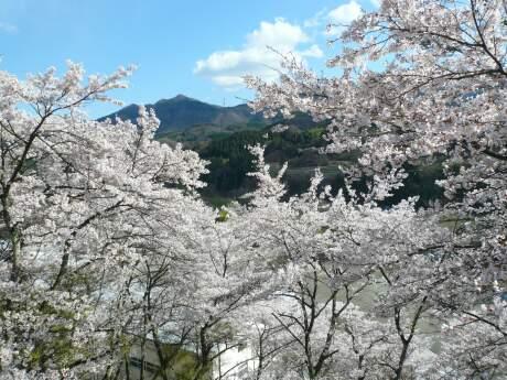 新治小学校裏の桜3.jpg