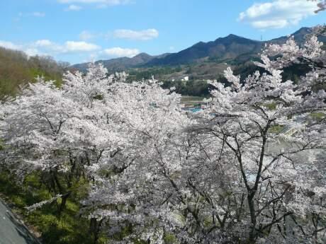 新治小学校裏の桜4.jpg
