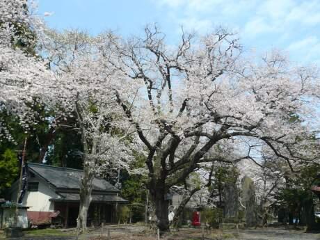 新羅神社 おとぎの桜.jpg