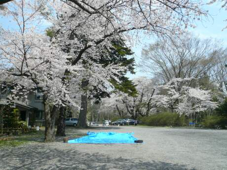 新羅神社の桜2.jpg