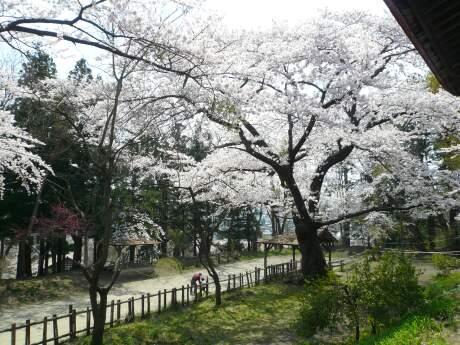 新羅神社の桜3.jpg