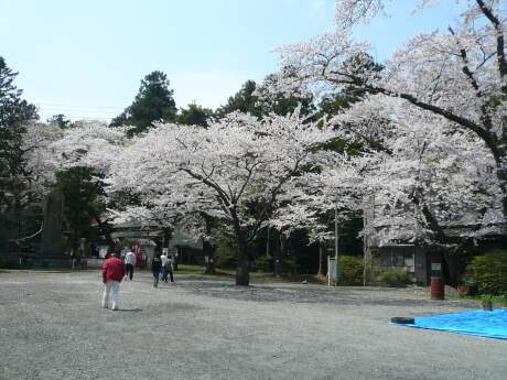 新羅神社の桜1.jpg