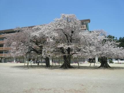 真鍋の桜2.jpg