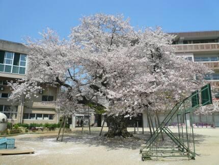 真鍋の桜3.jpg