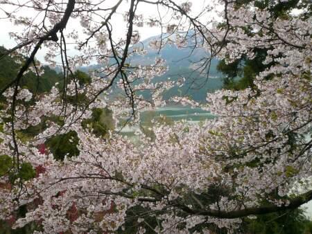 神流湖畔の桜2.jpg