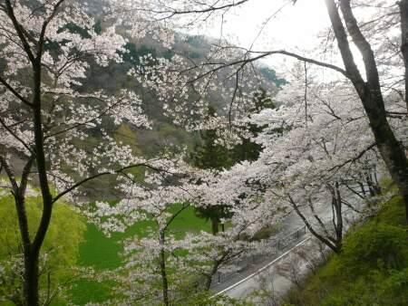 神流湖畔の桜4.jpg