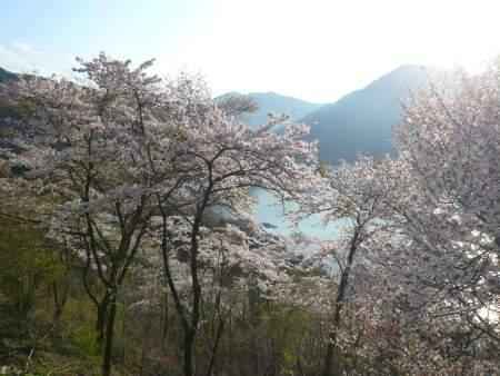 神流湖畔の桜5.jpg