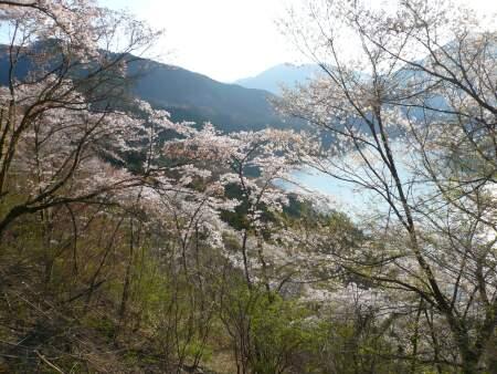 神流湖畔の桜6.jpg
