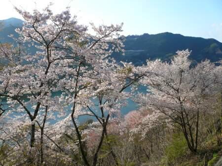 神流湖畔の桜7.jpg