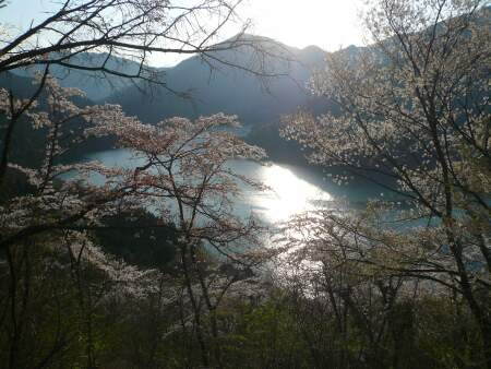 神流湖畔の桜8.jpg