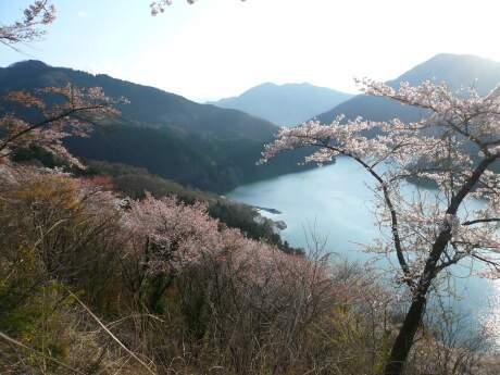 神流湖畔の桜9.jpg