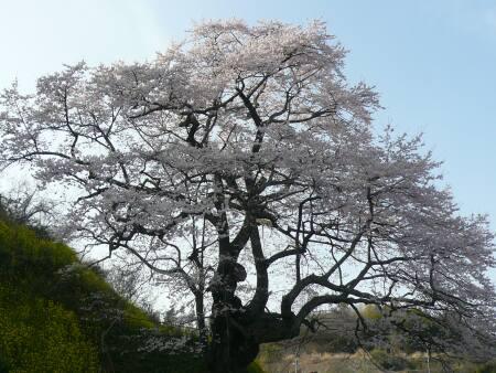 是哉寺地蔵桜2.jpg