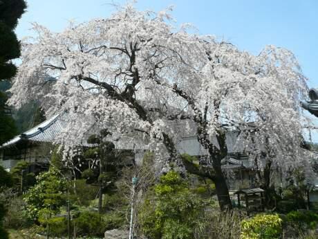 西楽寺の枝垂れ桜4.jpg