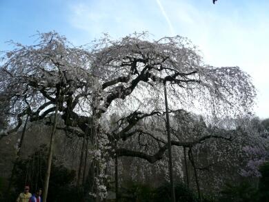 青木の枝垂れ桜