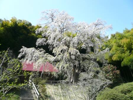 雪村庵の桜1.jpg