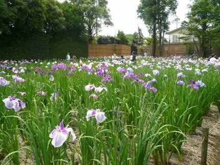 染谷花しょうぶ園2.jpg