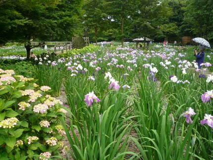 染谷花しょうぶ園3.jpg