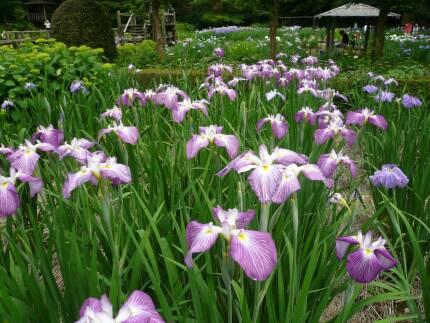 染谷花しょうぶ園4.jpg