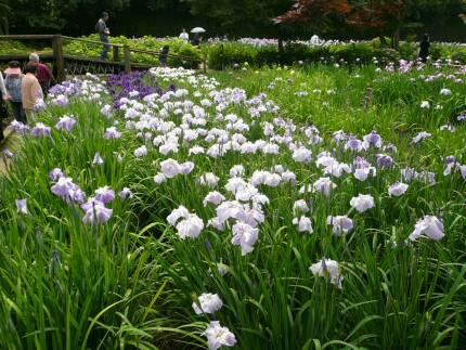 染谷花しょうぶ園1.jpg