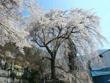 善徳寺の桜2.jpg