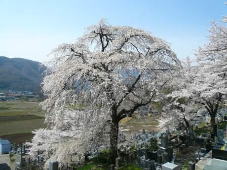 善徳寺の桜3.jpg