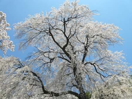 善徳寺の桜4.jpg
