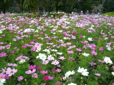 大宮花の丘コスモス