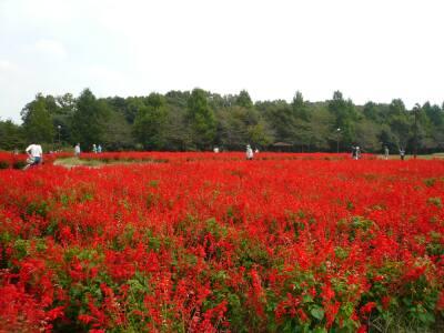 大宮花の丘サルビア