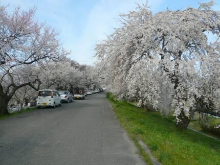 大野極楽寺公園の桜2.jpg