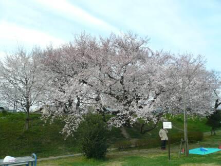 大野極楽寺公園の桜3.jpg