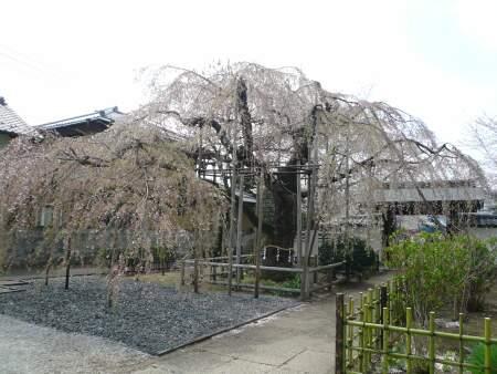 地蔵院のしだれ桜1.jpg