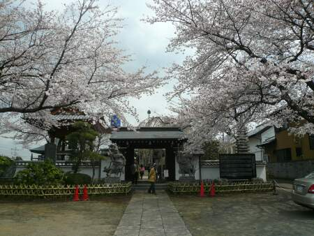 地蔵院の桜2.jpg