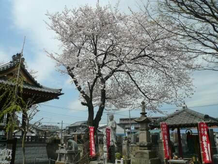 地蔵院の桜1.jpg