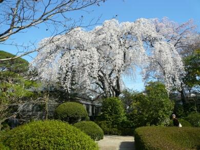 中院_桜200802
