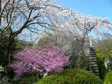 中院_桜200803