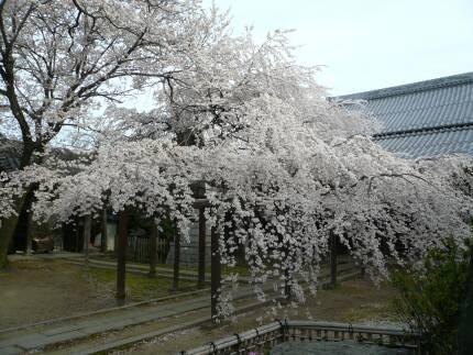 長誓寺の枝垂れ桜2.jpg