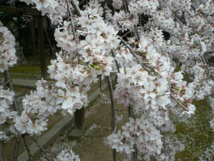 長誓寺の枝垂れ桜4.jpg