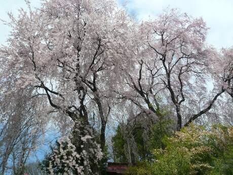 長谷堂城 桜2.jpg