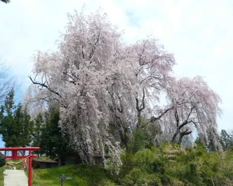 長谷堂城 桜3.jpg
