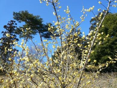 東松山牡丹園の蝋梅