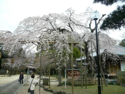 東漸寺の桜4.jpg