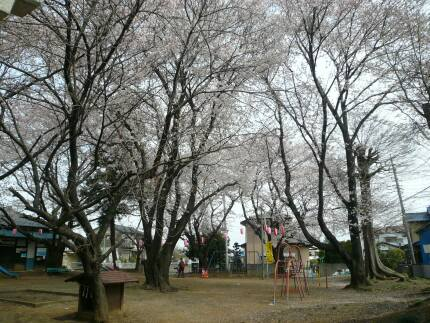 日枝神社の桜.jpg