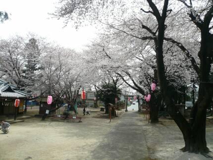 日枝神社の桜2.jpg