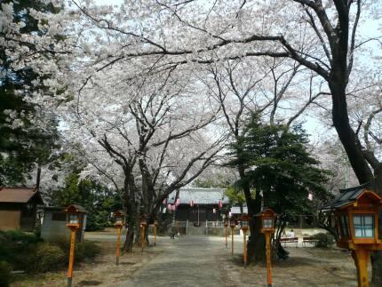 日枝神社の桜3.jpg
