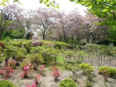 日本国花苑_八重桜
