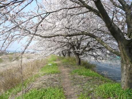 白川橋付近の桜.jpg