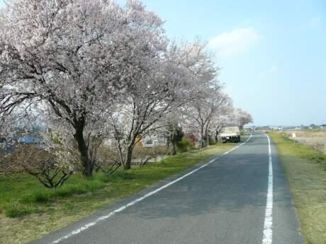 白川橋付近の桜2.jpg