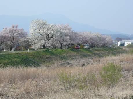 白川橋付近の桜4.jpg
