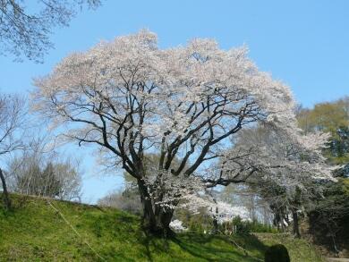 鉢形城のヤマザクラ