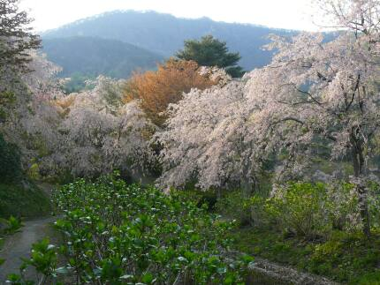 半田山自然公園の桜1.jpg
